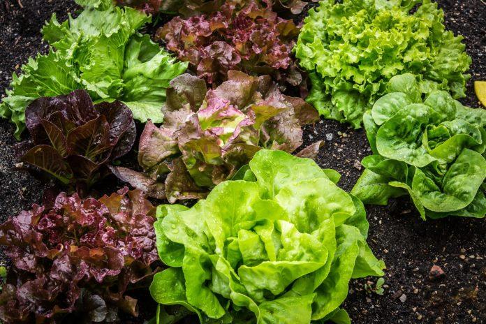 insalata orto verdura agricoltura