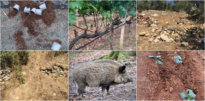 """Danni di cinghiali e animali selvatici in campagna e nei centri abitati,  Coldiretti Liguria: """"A Pontedassio gli olivicoltori si stanno oramai  arrendendo"""""""