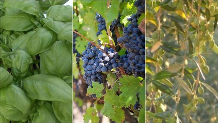 basilico - uva - olive